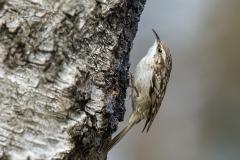 Short-toed Tree-creeper - Boomkruiper