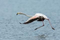 Flamingo - Europese Flamingo