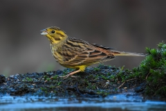 Yellow Bunting - Geelgors