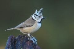Crested Tit - Kuifmees