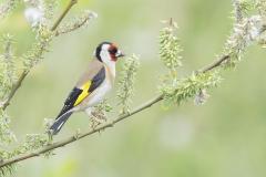 Goldfinch - Putter