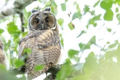 Long-eared Owl - Ransuil