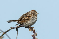 Reed Bunting - Rietgors