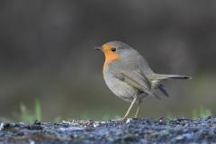 European Robin - Roodborst