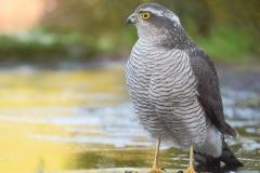 Eurasian Sparrowhawk - Sperwer