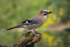 Eurasian Jay - Gaai