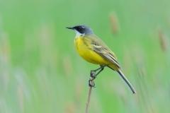 Western Yellow Wagtail - Witkeelkwikstaart
