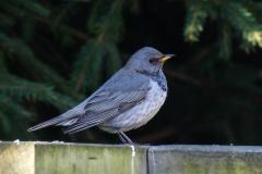 Black-throated Trush - Zwartkeellijster