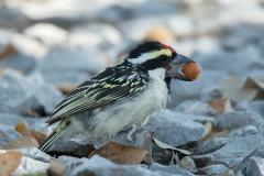 Acacia-Pied Barbet