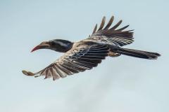 African-Grey Hornbill