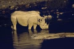 Black Rhinoceros - Zwarte Neushoorn