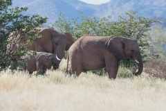 Desert-dwelling Elephants