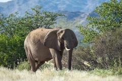 Desert-dwelling Elephant