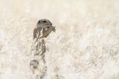 Cape Groundsquirrel - Kaapse Grondeekhoorn