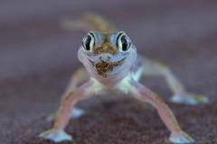 Namaque Sand Gecko