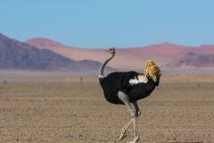 Ostrich - Struisvogel
