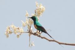 Beautifull Sunbird