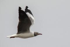 Greyheaded Gull