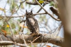 Greyish Eagle Owl2
