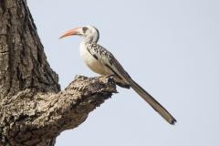 Northern Redbilled Hornbill