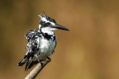Pied Kingfisher FB