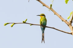 Swallowtailed Beeeater