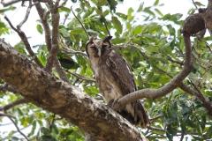 Verreaux´s Eagle Owl