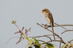 Yellowbilled Shrike
