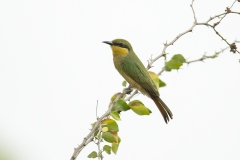 Kleine-Groene-Bijeneter_6446