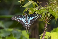Large-Striped-Swordtail_5567