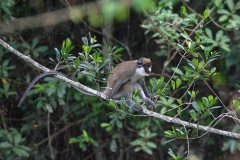 Spot-nosed Monkey