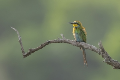 Swallowtailed-Bee-eater-Ghana_5690