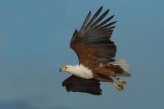 Afrikaanse Visarend - African Fish Eagle