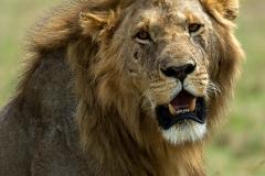 Leeuw - Lion