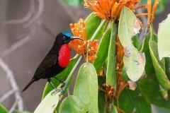 Scarlet-breasted Sunbird
