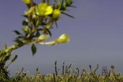Teunisbloemen-Rottumeroog-152694669