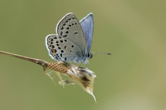 Veenbesblauwtje