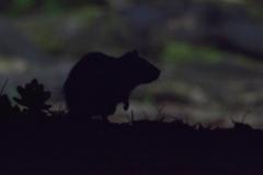 Bruine-Rat_4349