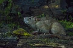 Bruine-Rat_4724