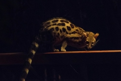 Central-African-Large-spotted-Genet_2982