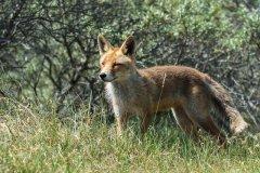 Fox-Vos-166725386