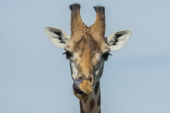 Giraffe_1443