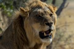 Lion_3435