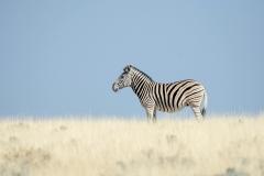 Zebra-kl_1904