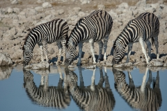 Zebra_1042