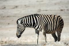 Zebra_1895