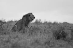 leeuw-zw_2245