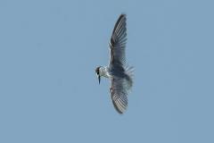 Saunders Tern