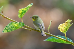 Abyssinian-White-eye