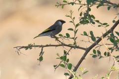 Arabian Golden-winged Grosbeak - Arabische Goudvleugelvink